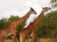The many girafes from the Manyara Park