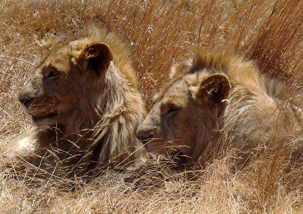 Two lions resting in the crater