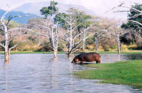 Hippopotamus in the Rufiji River